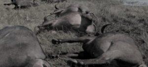 भ्यागुते रोगले दाङमा सत्र भैँसी मरे